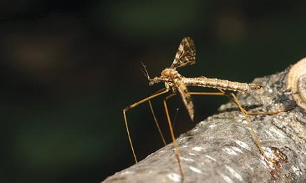 Not a mosquito: A crane fly is read for her close-up.