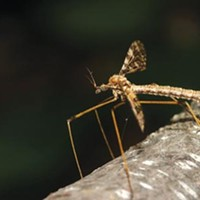 A new Carnegie Museum of Natural History exhibit has the buzz on crane flies.