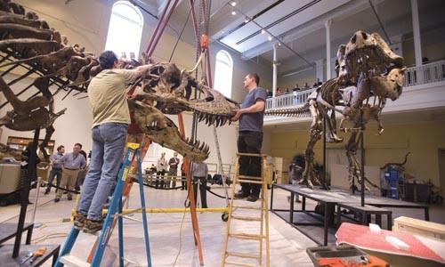 Paul Zawisha, left, and Bob Ziller install the head on the Carnegie Museum of Natural History's Tyrannosaurus Rex. Photo Courtesy of Joshua Franzos, Carnegie Museum of Natural History