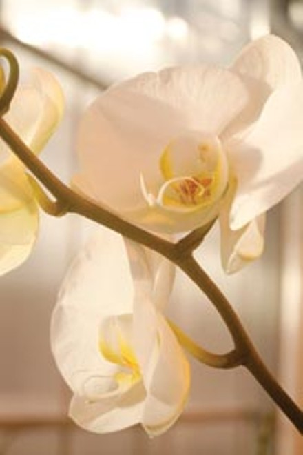 Phalaenopsis blooms in the greenhouse. - HEATHER MULL