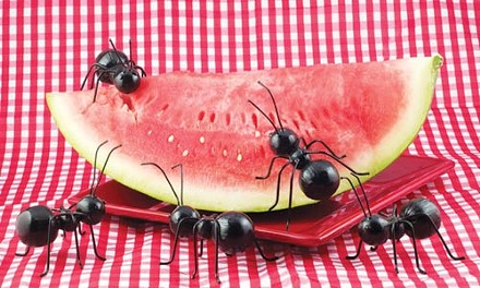 21_1sum_ants_eating_watermelon.jpg