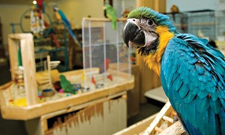 Pretty Birds, in Millvale, has a variety of exotic birds, including this colorful macaw. - BRIAN KALDORF