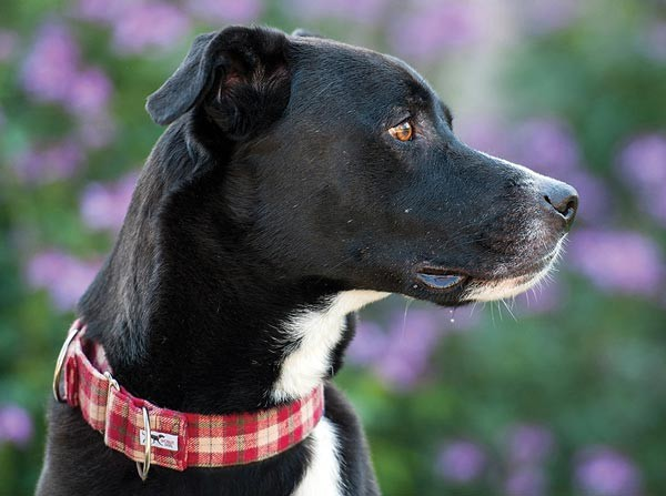 Scout Dog Collars