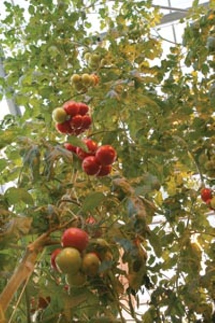 Tomatoes, no dirt required - HEATHER MULL
