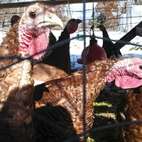 Turkeys at Blackberry Meadows Farm