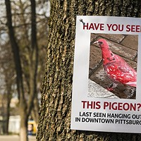 Have you seen this bird? Mysterious red pigeon appears in Downtown Pittsburgh