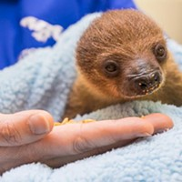 National Aviary in Pittsburgh welcomes baby sloth