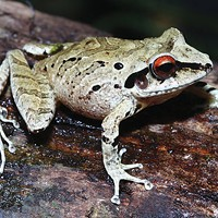 Pristimantis sp., one of the frog species recently found in Peru