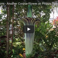 The return of the corpse flower at Phipps Conservatory