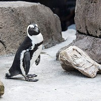 A penguin at the National Aviary