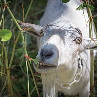 Allegheny GoatScape tends a lot.