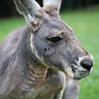<i>Kangaroo: A Love Hate Story</i>