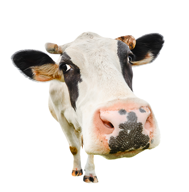 Give us your big cows!