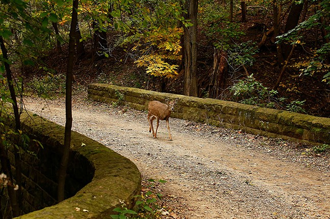 A deer crosses a bridge along the Bridle Trail at Schenley Park. - CP PHOTO: JARED WICKERHAM