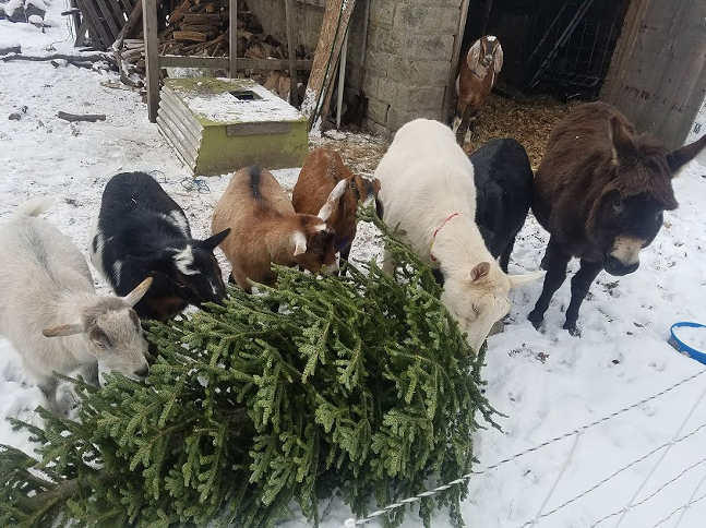 Goats and their protection donkey chow down on a donated Christmas tree at Allegheny GoatScape. - PHOTO: ALLEGHENY GOATSCAPE
