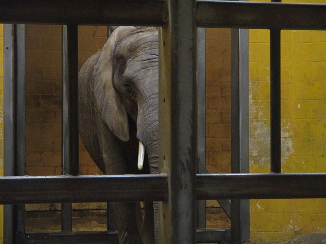 Elephant in Pittsburgh Zoo enclosure - PHOTO: COURTESY OF IN DEFENSE OF ANIMALS