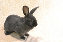 Aphrodite is a 2-year-old Shorthair rabbit currently available for adoption through Animal Friends. She has a dynamic personality and can be a little strong-willed at times!