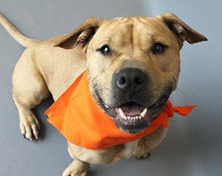 Champ is a 2-year-old American Staffordshire Terrier who is currently available for adoption at Western Pa. Humane Society. He would make a great running partner and needs a super-active family in a home with teens/adults only.