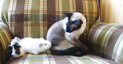 """Guinea Pig vs. Cat,"" by Tania DeViller"