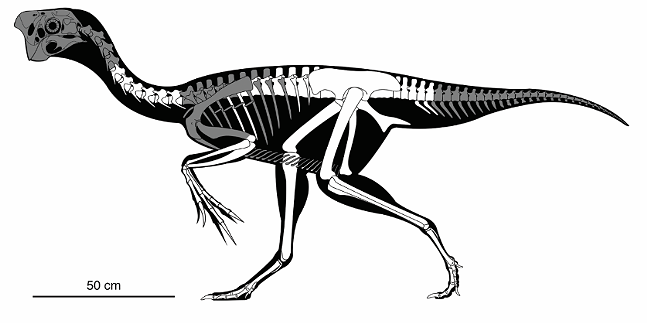 Skeletal reconstruction of the adult oviraptorid showing preserved bones (in white) - ANDREW MCAFEE, CARNEGIE MUSEUM OF NATURAL HISTORY