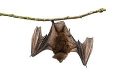 sl-bat-walk.jpg