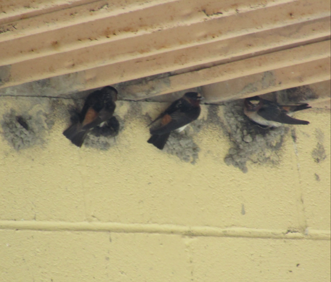 Cliff Swallows building nests on the Mercer County PGC maintenance building. Taken on July 3, 2021. - PHOTO: KIM SPRINGER