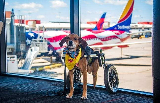 Boone the PIT therapy dog - PHOTO: COURTESY OF BLUE SKY NEWS/PITTSBURGH INTERNATIONAL AIRPORT