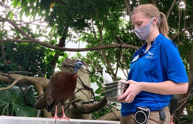 Gus the great argus pheasant waits to be fed during the Tropical Rainforest Feeding. A snowy egret perches in the background. - CP PHOTO: KIMBERLY ROONEY