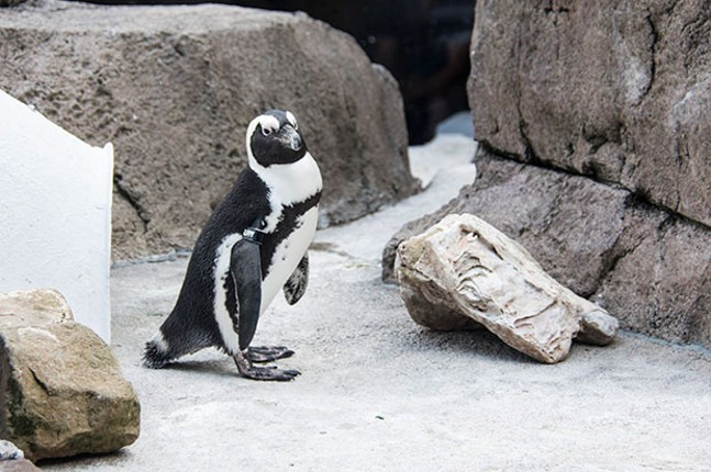 A penguin at the National Aviary - CP PHOTO BY JORDAN MILLER
