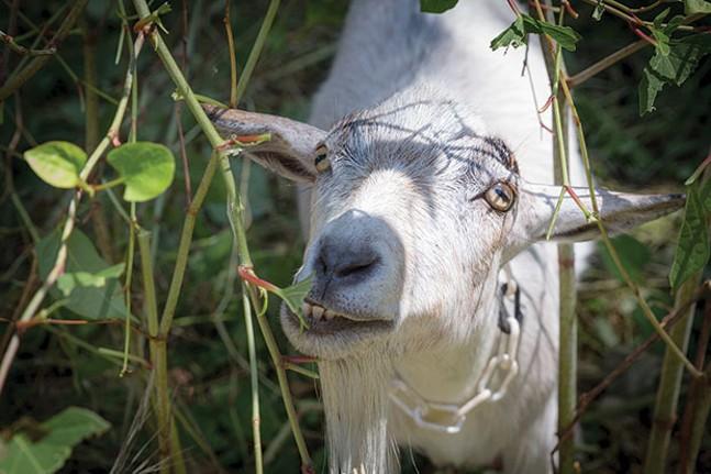 Allegheny GoatScape tends a lot. - CP PHOTO BY RENEE ROSENSTEEL