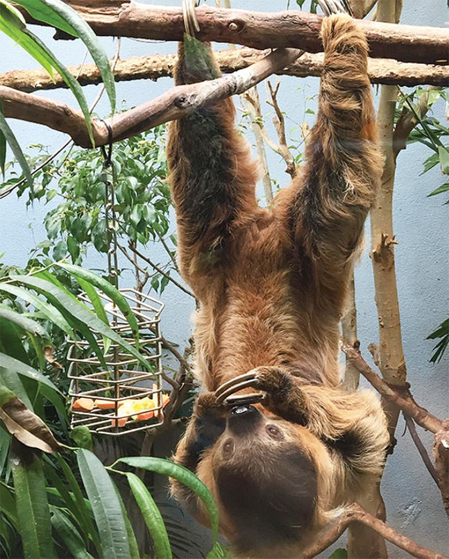 Hang in there: one of the National Aviary's fan-favorite sloths - CP PHOTO BY LISA CUNNINGHAM