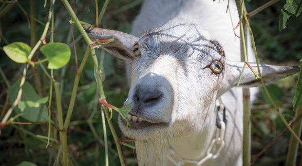 Allegheny GoatScape offers novelty, sustainability as the herd embarks on a mission to clean up Pittsburgh