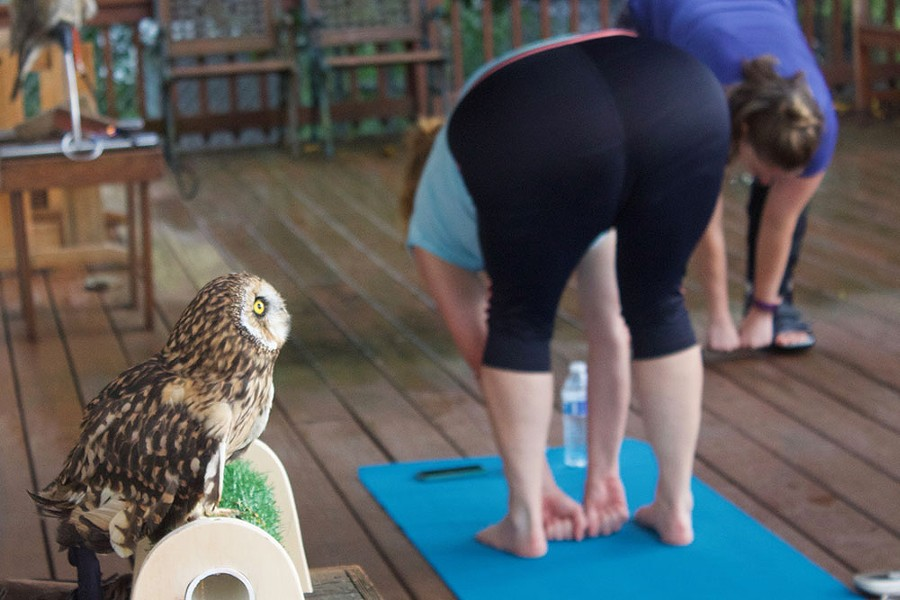 Move over, downward dog. Hermes the owl watches over Y-OWL-ga on Thu., Aug. 24. - CP PHOTOS BY KRISTA JOHNSON