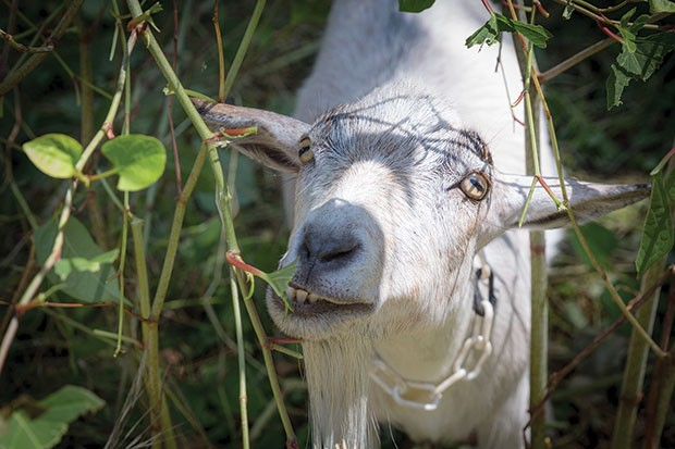 Allegheny GoatScape tends a lot earlier this year. - CP PHOTO BY RENEE ROSENSTEEL