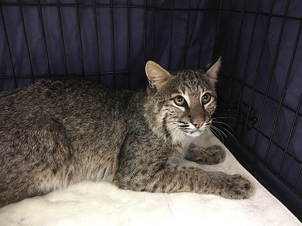 The nautical bobcat of the Gateway Clipper - PHOTO COURTESY OF JILL ARGALL, HUMANE ANIMAL RESCUE'S WILDLIFE CENTER DIRECTOR