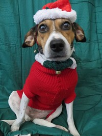 7e59a5a3_photo_-_georgia_the_holiday_hound_dog.jpg