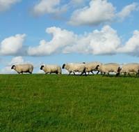 26939f93_sheep-2.jpg