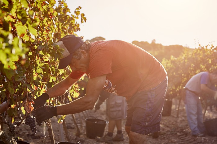 A man picking grapes on a hot day.