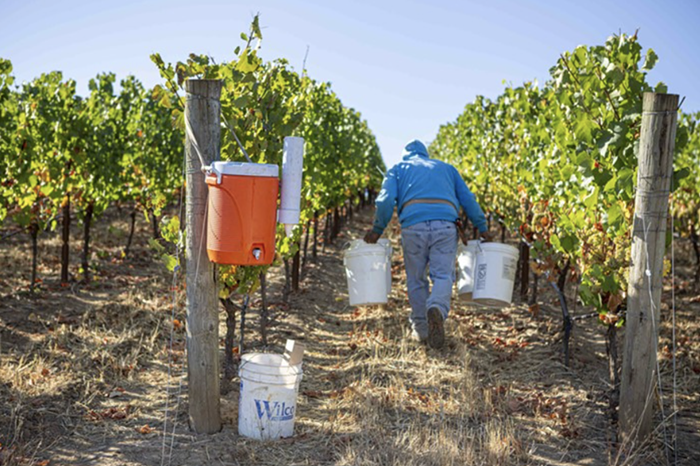 As wine grape harvest season grows warmer in Oregon, its imperative that vineyard workers stay hydrated.