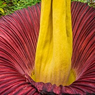 That Stank-Ass Corpse Flower Is Stinking Up St. Louis Right Now