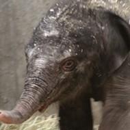 Saint Louis Zoo Announces Birth of 251-Pound Baby Elephant (PHOTOS)