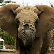 Grant's Farm Elephant Max Dies, Third to Die in 2 Weeks