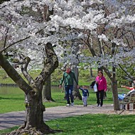 It's Peak Cherry Blossom Time in St. Louis and MoBOT Is Here For It