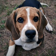 Some Asshole Skinned a Beagle Alive in Missouri, Reward Offered for Info