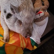 The Plight of Princess Pickles, Festus' Controversial Emotional Support Pig