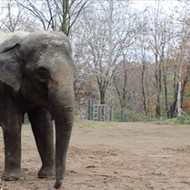 The Saint Louis Zoo Has a Pregnant Elephant and We are Hyped
