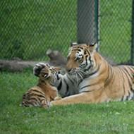 RIP Kalista, Saint Louis Zoo's Amur Tiger and 'Amazing Mother Tigress'