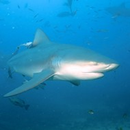 Sharks in the Mississippi? Researches Say It's Possible Near St. Louis