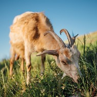 The Big Mad: Grass-Eating Goats, Parson's Problem and St. Louis Intersection Hell