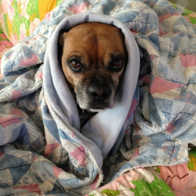 Cooper, a St. Louis puggle, lives for summer and loathes the cold, according to his human. - PHOTO COURTESY OF ERIC WERNER.